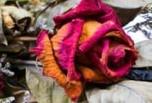 Photo of Çok Duygusal Bir Hikaye; Solmuş Bir Çiçeğin Hikayesi
